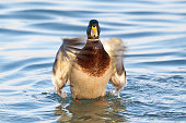 Wild duck, mallard male (Anas platyrhynchos) flapping wings, dries feathers and standing upright in the water.