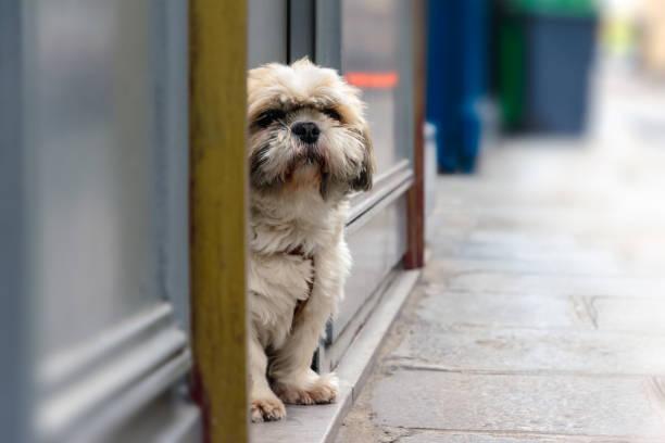 Portrait of Maltese dog stock photo