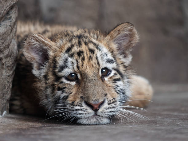 Portrait of Manchurian tiger cub lying and looking unhappy. stock photo