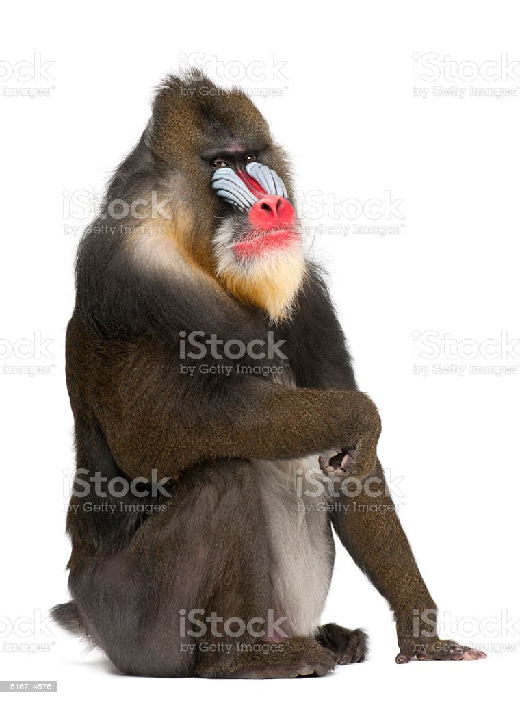 Portrait of Mandrill, primate of the Old World monkey family stock photo