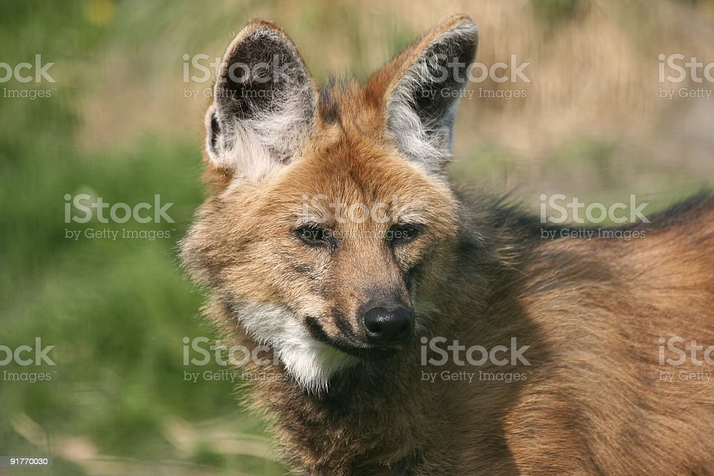 Portrait of maned wolf looking into the distance stock photo