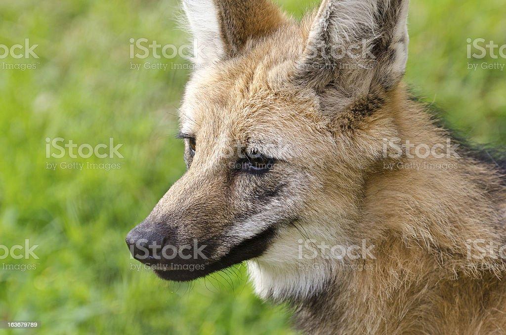 Portrait of maned wolf stock photo