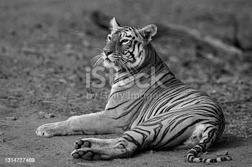 istock Portrait of Maya Tigress 1314727469