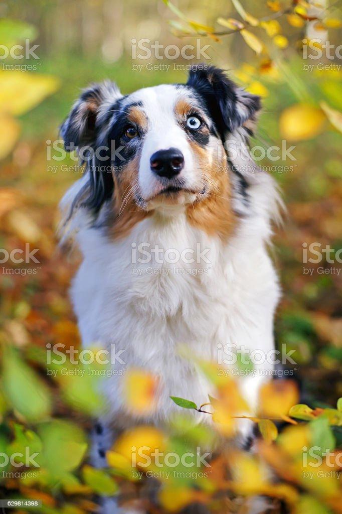 Portrait of merle Australian Shepherd dog sitting in autumn forest stock photo