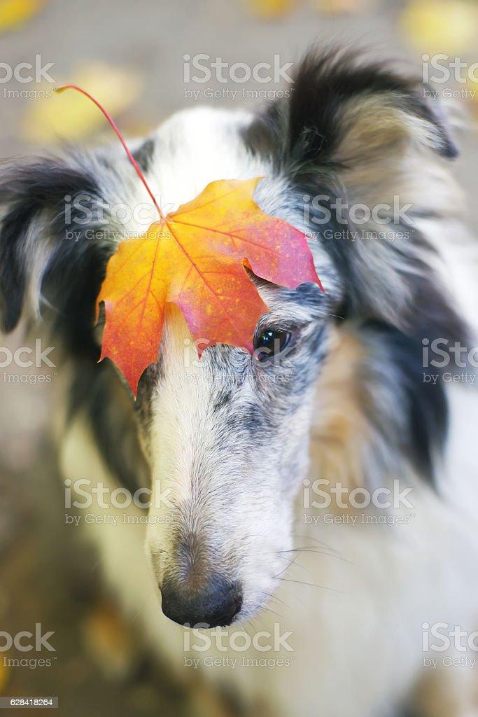 Portrait of merle Sheltie dog holding maple leaf on head stock photo