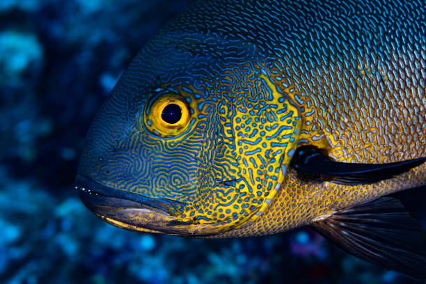 Portrait of Midnight Snapper Macolor macularis, Palau, Micronesia stock photo