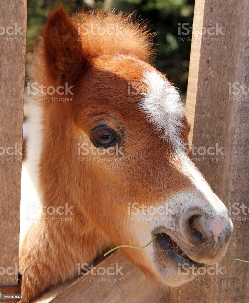 Portrait of Miniature horse stock photo