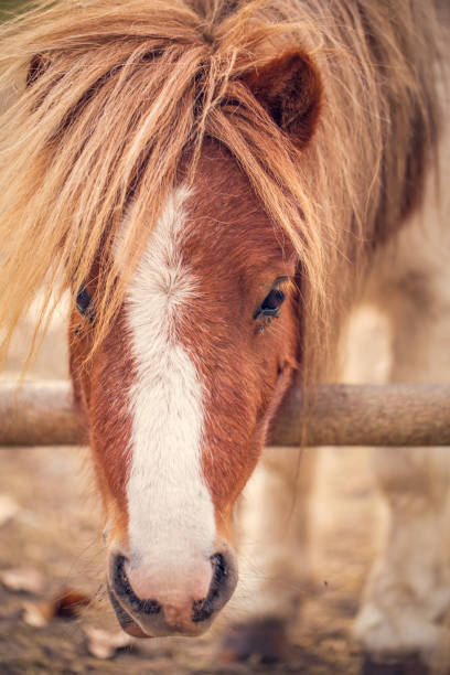 porträt von miniatur shetland pony auf einem bauernhof - pferdespiele kostenlos spielen stock-fotos und bilder