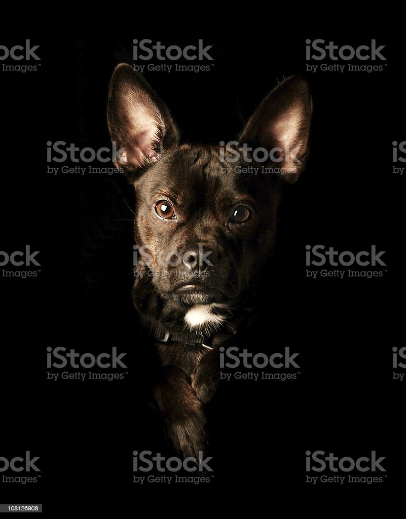 Portrait of Mixed Breed Dog on Black Background royalty-free stock photo