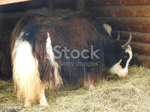Portrait of mongolian yak behind the wooden fence. Close-up view. Rural scene
