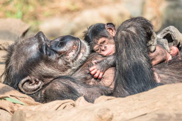 Porträt der Mutter Schimpansen mit lustigen kleinen baby – Foto