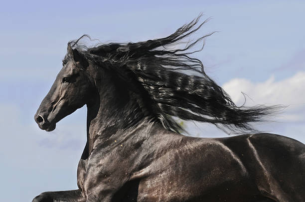 Portrait of moving friesian black horse stock photo