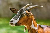 Portrait of Nanny Goat against the Dark Background