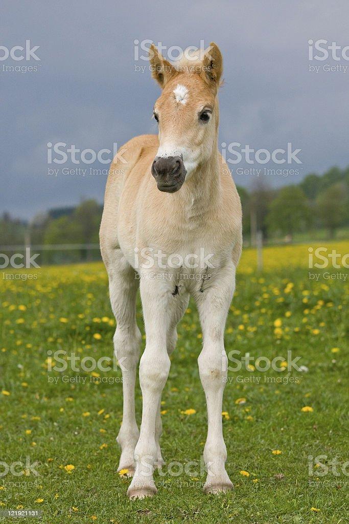 Portrait of nice haflinger pony foal royalty-free stock photo