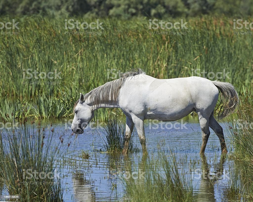 Portrait of nice horse wild in camargue french Region royalty-free stock photo