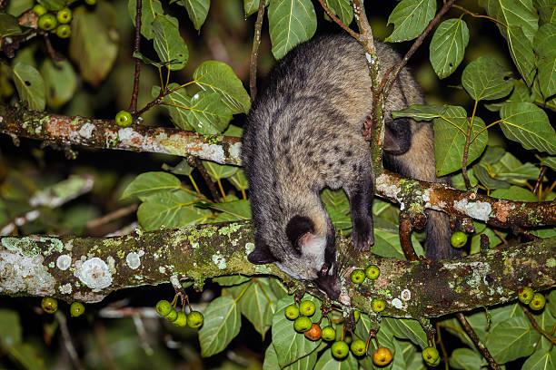 retrato de nocturno asiática civeta de los animales - gato civeta fotografías e imágenes de stock