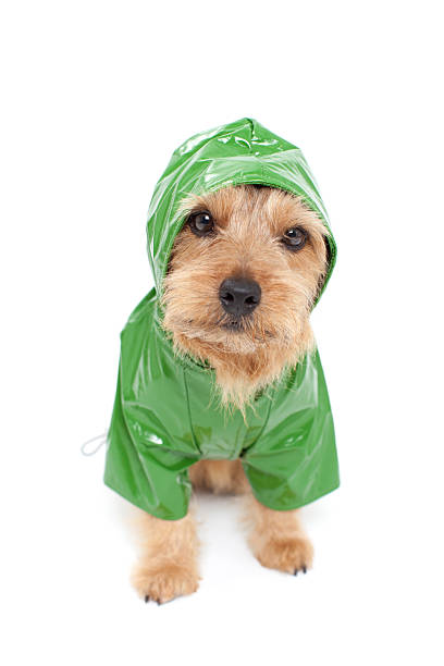 Portrait of Norfolk Terrier wearing raincoat Portrait of Norfolk Terrier wearing raincoat waterproof clothing stock pictures, royalty-free photos & images