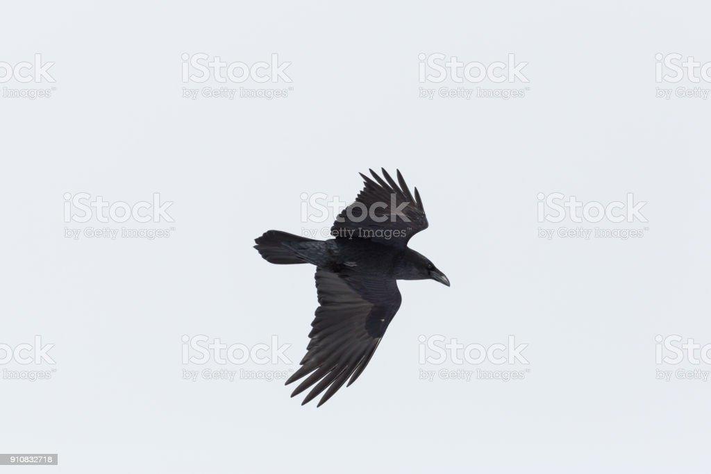 Porträt von nördlichen Raven (Corvus Corax) im Flug, weißer Hintergrund – Foto