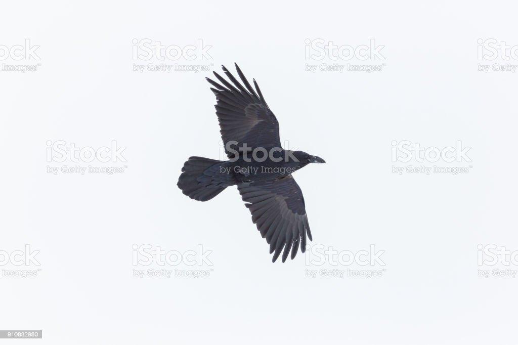 Porträt von nördlichen Raven (Corvus Corax) im Flug mit Schnee am Schnabel – Foto