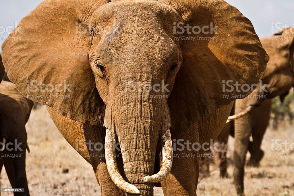 Portrait of old elephant in the sunlight-Kenya stock photo