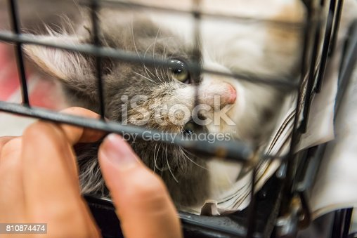 istock Portrait of one grey and white calico kitten playing in cage waiting for adoption 810874474