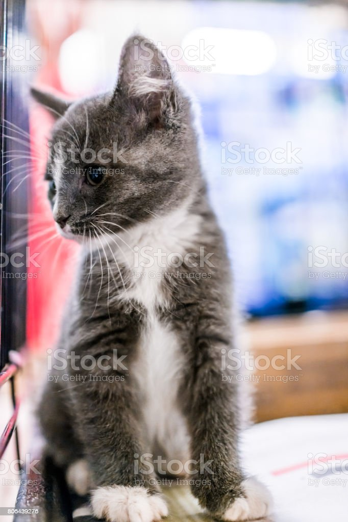 Portrait Of One Grey And White Russian Blue Tabby Tiny Kitten In Cage Waiting For Adoption Stock Photo Download Image Now Istock