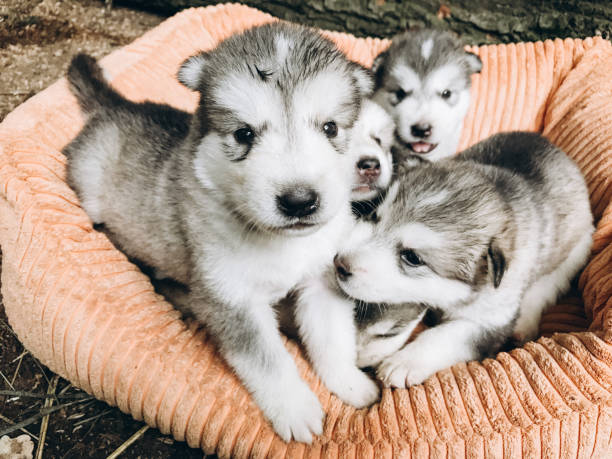 Portrait of one month old alaskan malamute puppies stock photo