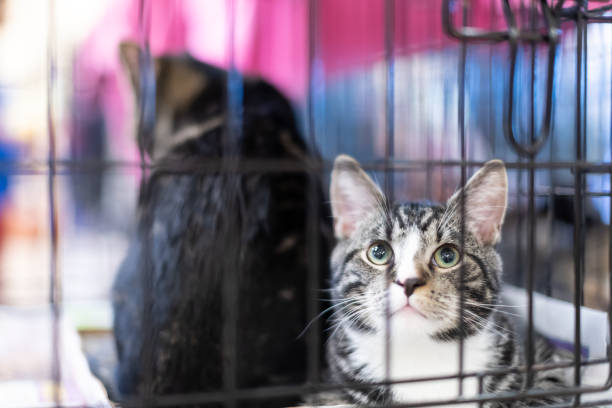 Portrait of one tabby and white kitten cat looking through cage behind bars waiting for adoption with sibling Portrait of one tabby and white kitten cat looking through cage behind bars waiting for adoption with sibling sheltering stock pictures, royalty-free photos & images