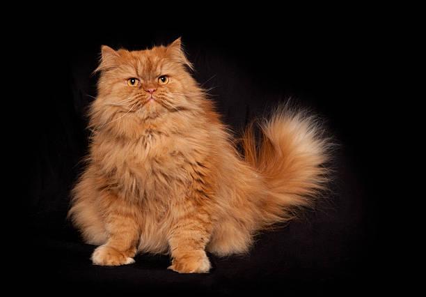 Portrait of orange persian sitting cat picture id514067170?b=1&k=6&m=514067170&s=612x612&w=0&h=1peo07 t2rvz7wbb8l zb5lnjjfrki7z1ox2 nczxes=