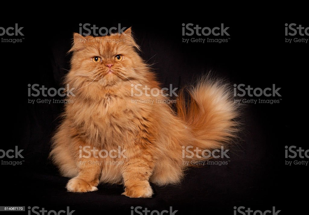 Portrait of orange persian sitting cat stock photo