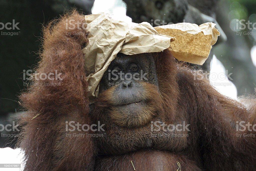 Portrait of orangutan royalty-free stock photo