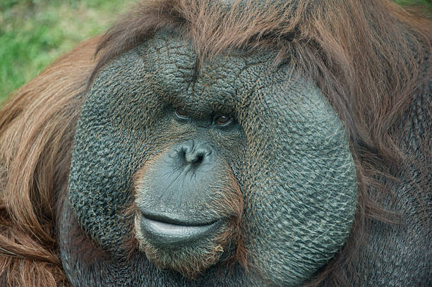 portrait of orangutan portrait of orangutan daunt stock pictures, royalty-free photos & images