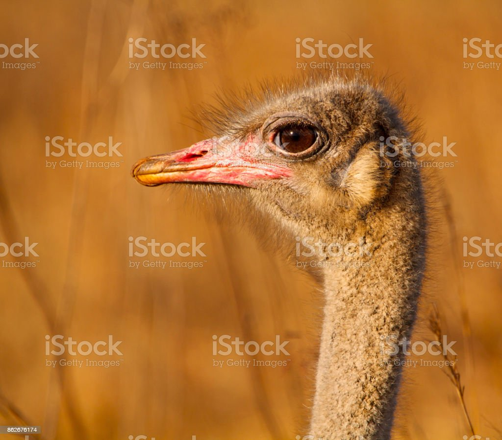 Portrait of Ostrich stock photo