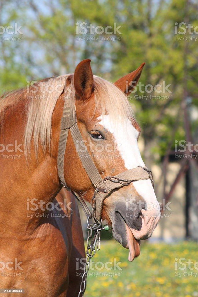 Portrait of palomino horse showing tongue stock photo