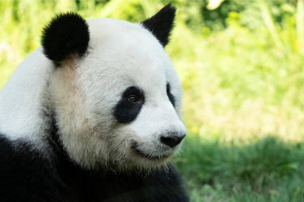 Retrato de oso panda de cerca. Lindos animales de China. Vista de cerca de la cabeza del panda. Disparo de retrato. - foto de stock