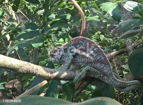 portrait of male Parson's chameleon aka Calumma parsonii in Peyrieras Reptile Reserve, Andasibe-Mantadia National Park at Madagascar
