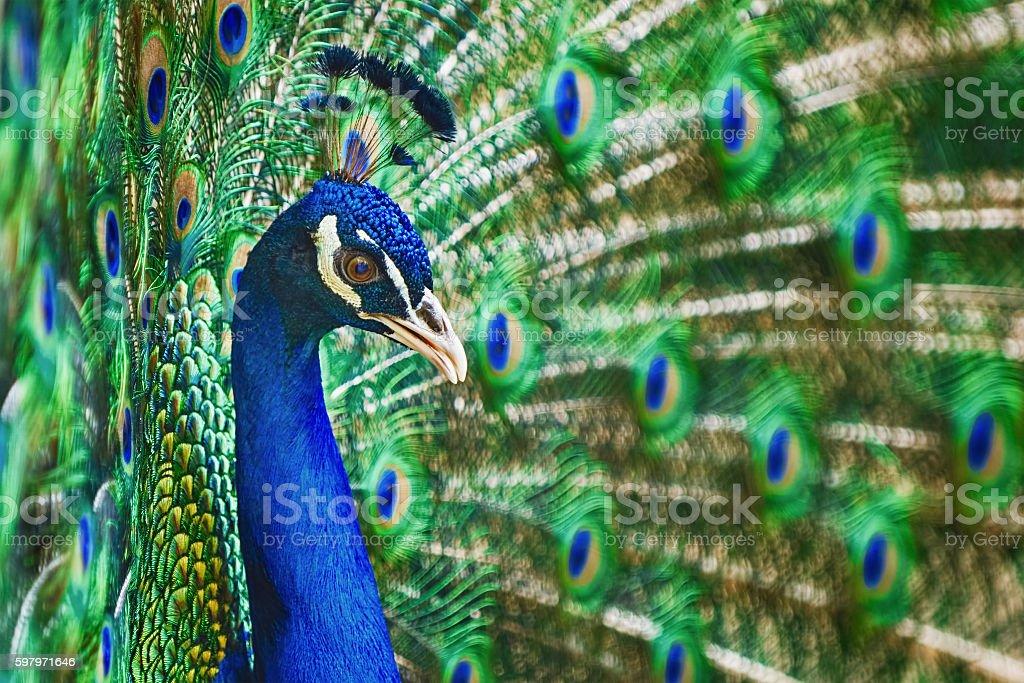 Porträt der Peacock – Foto