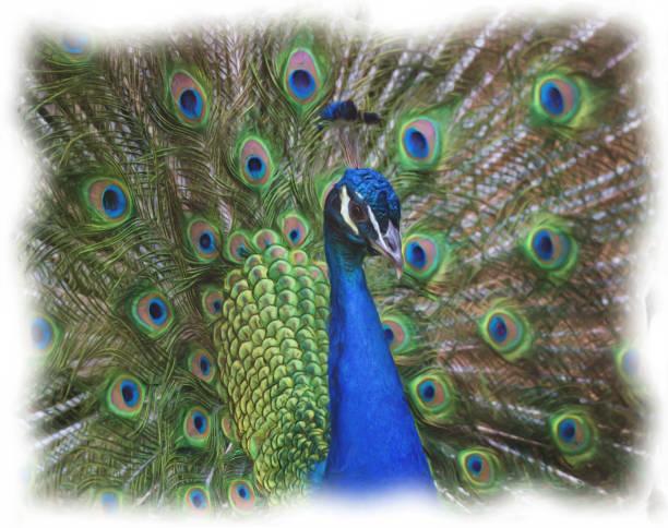porträt der peacock - pfau bilder stock-fotos und bilder