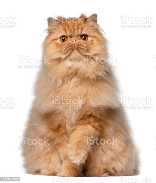 Portrait of persian cat 7 months old sitting in front of white picture id879043858?b=1&k=6&m=879043858&s=612x612&h=ft7mmchkqmnjaq8koaeyhiuiuqce4l2crxzo2igfiz8=