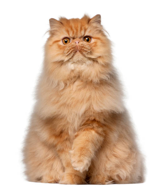Portrait of persian cat 7 months old sitting in front of white picture id879043858?b=1&k=6&m=879043858&s=612x612&w=0&h=d1vkq8eqtgkocha1extlsynzmsxwk0dbulyilzvtpss=
