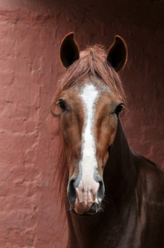 """Portrait of Peruvian horse """"Caballo de Paso"""""""