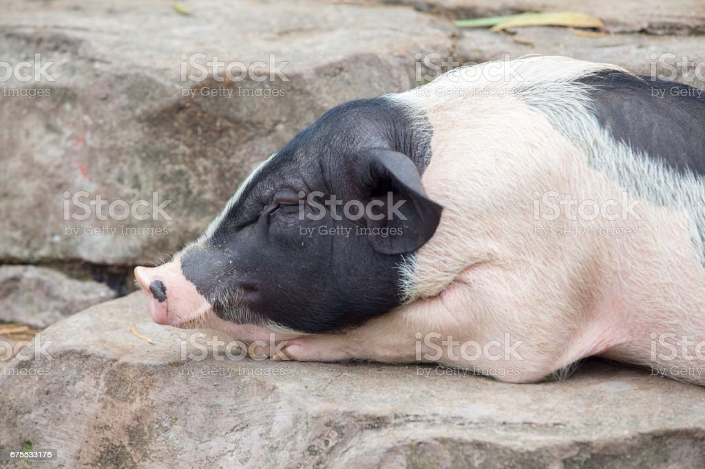 Portrait of  pig on  stone photo libre de droits