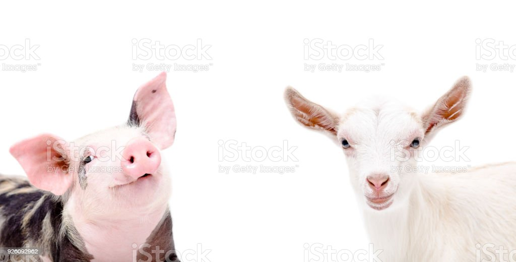 Portrait of piglet and goat stock photo