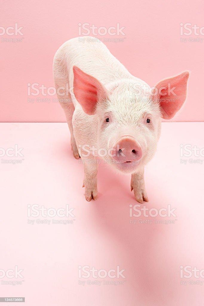 Portrait of piglet, studio shot stock photo