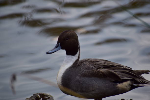 Portrait of pintail stock photo