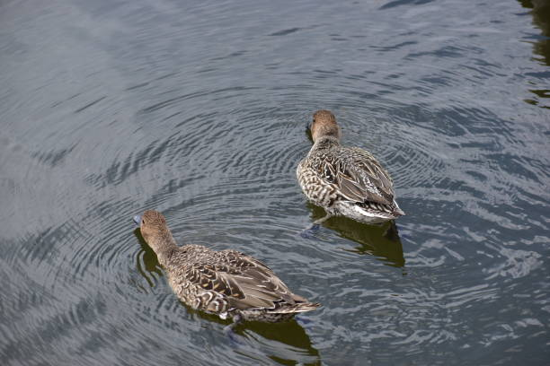 Portrait of pintails stock photo