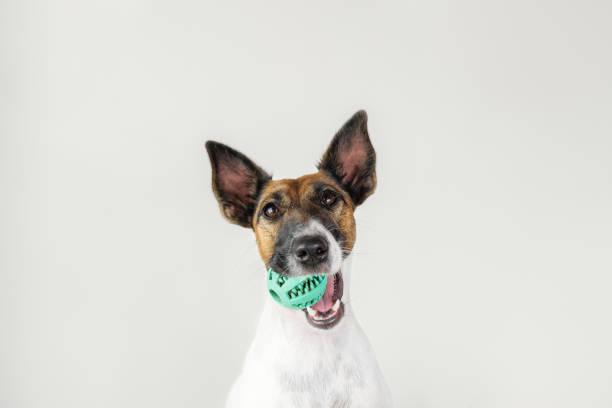 portret van speelse fox terrier puppy met een bal in de mond. - hondenkluif stockfoto's en -beelden