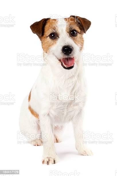 Portrait of playful jack russel terrier sitting on white background picture id154417129?b=1&k=6&m=154417129&s=612x612&h=62acja3gilbnddyg4fo35dhnoh0jg7dj64iihdpxvpq=