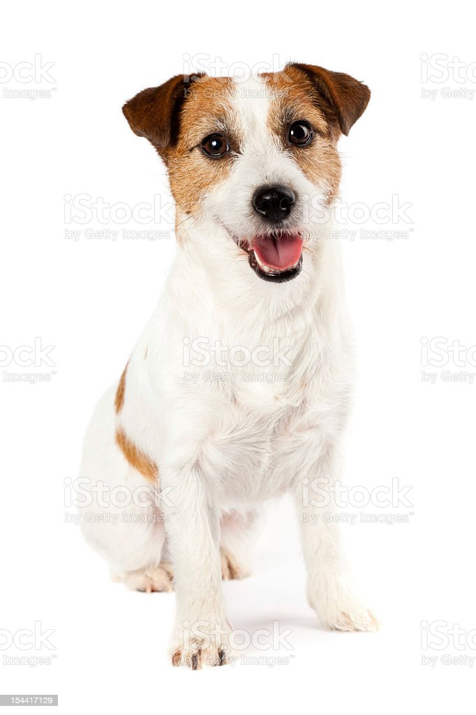 Portrait of playful Jack Russel terrier sitting on white background stock photo