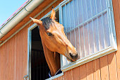 Portrait of purebred chestnut horse biting metal grid of stable window. Multicolored summertime outdoors horizontal image.